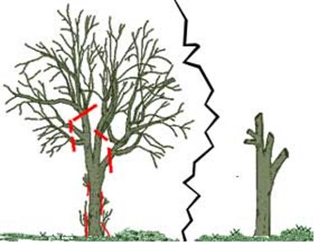Potatura delle piante da frutto for Quando piantare alberi da frutto