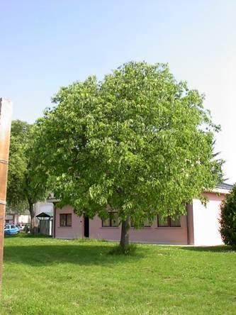 Alberi da giardino e per parchi for Costo alberi da giardino
