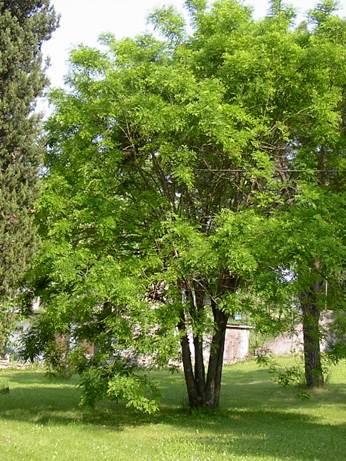Alberi da giardino e per parchi - Alberi sempreverdi da giardino ...