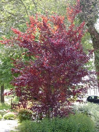 Alberi da giardino e per parchi for Pianta ornamentale con bacche rosse